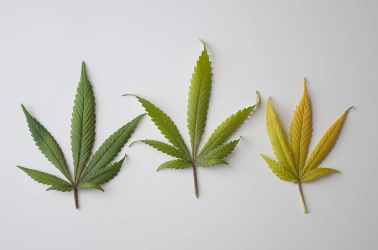 Marihuana--za-i-przeciw